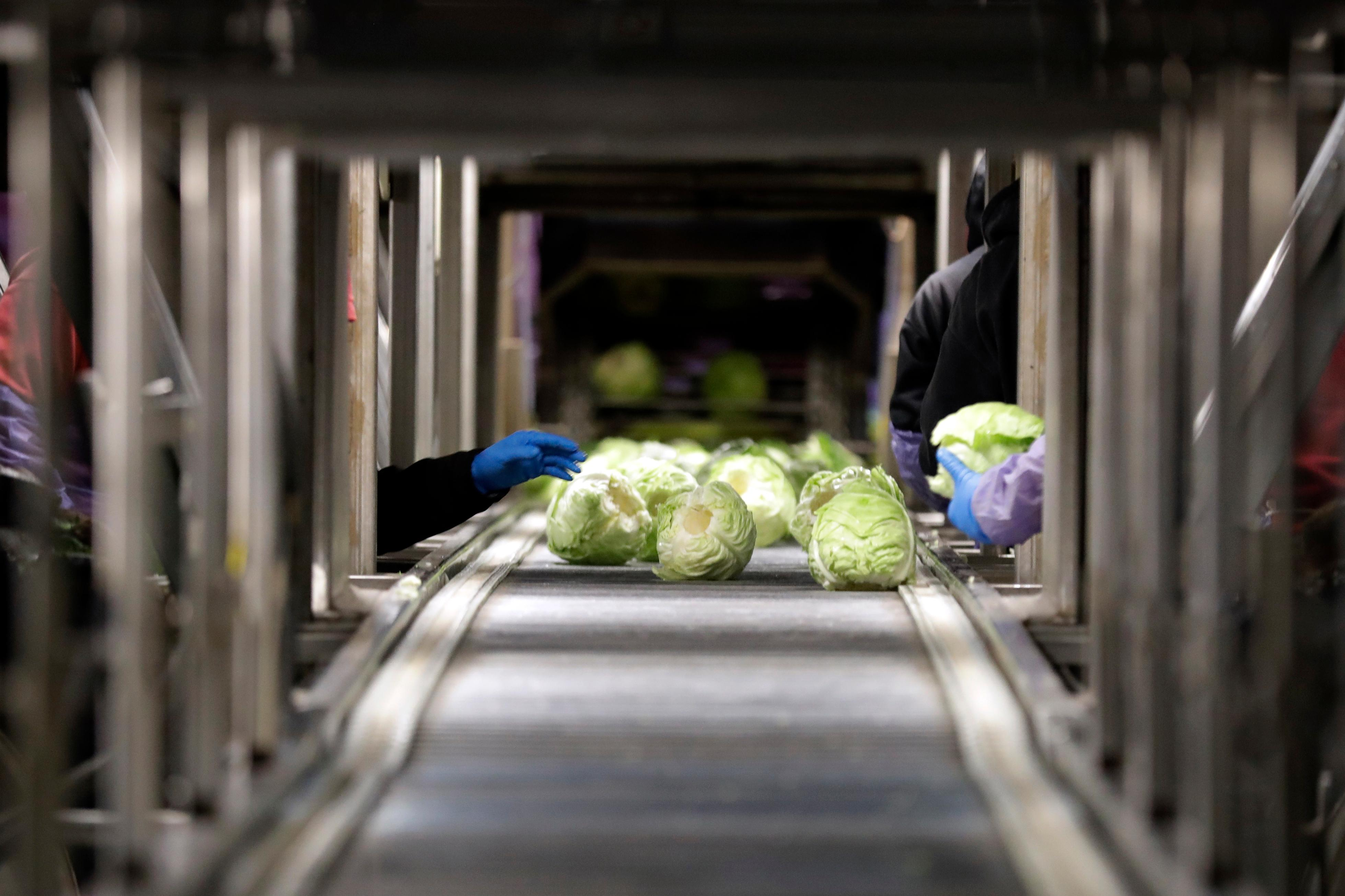 "In this March 6, 2018 picture, farmworkers harvest cabbage before dawn in a field outside of Calexico, Calif. For decades, cross-border commuters have picked lettuce, carrots, broccoli, onions, cauliflower and other vegetables that make California's Imperial Valley ""America's Salad Bowl"" from December through March. As Trump visits the border for the first time as president on Tuesday, March 13, the harvest is a reminder of how little has changed despite heated rhetoric in Washington. (AP Photo/Gregory Bull)"