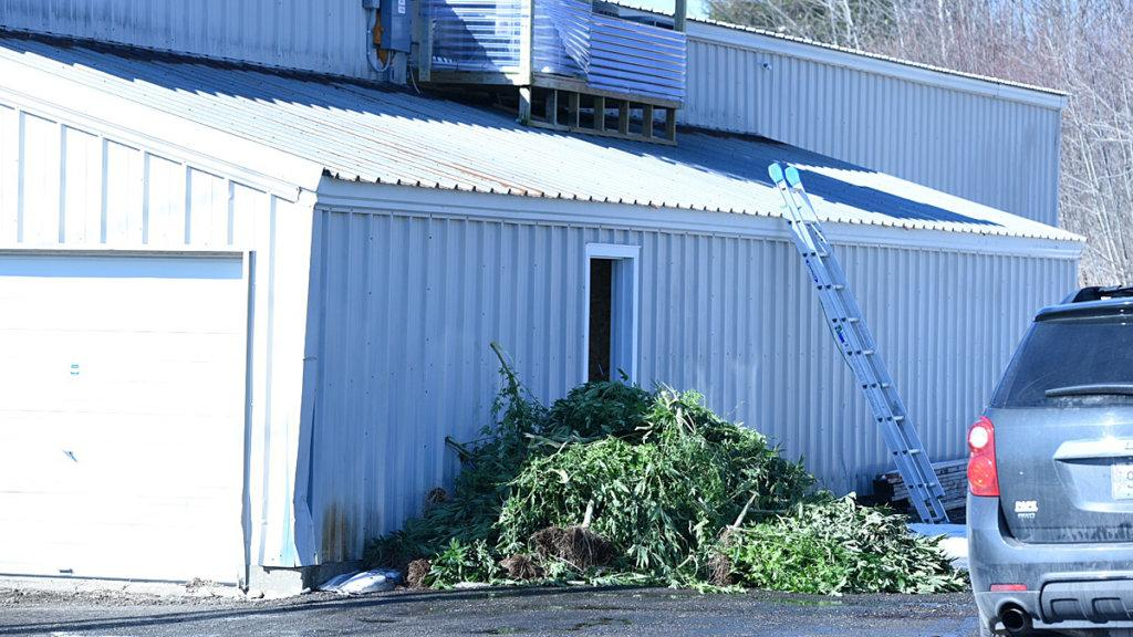 Law enforcement officers pile marijuana plants Tuesday morning outside of a warehouse on Lisbon Street in Lewiston. (Andree Kehn/Sun Journal)