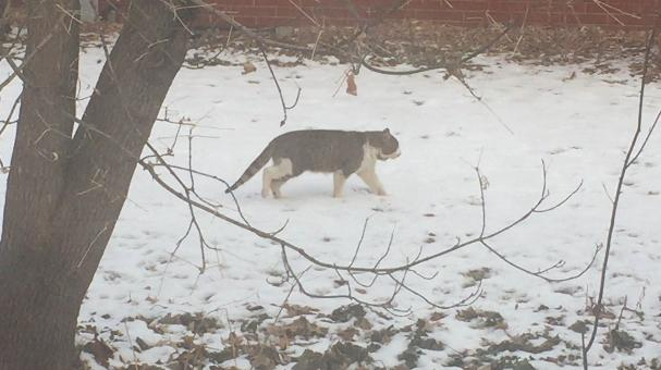 Feral cat roaming neighborhood in Allouez (Mark Leland, WLUK)<p></p>