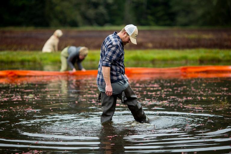 Brady Turner, co-owner of the restaurant Pickled Fish, kicks through floating plant debris during the annual cranberry harvest at Starvation Alley Farms. The Turner's restaurant features the organic cranberries in their food and cocktails. (Sy Bean / Seattle Refined)<p></p>