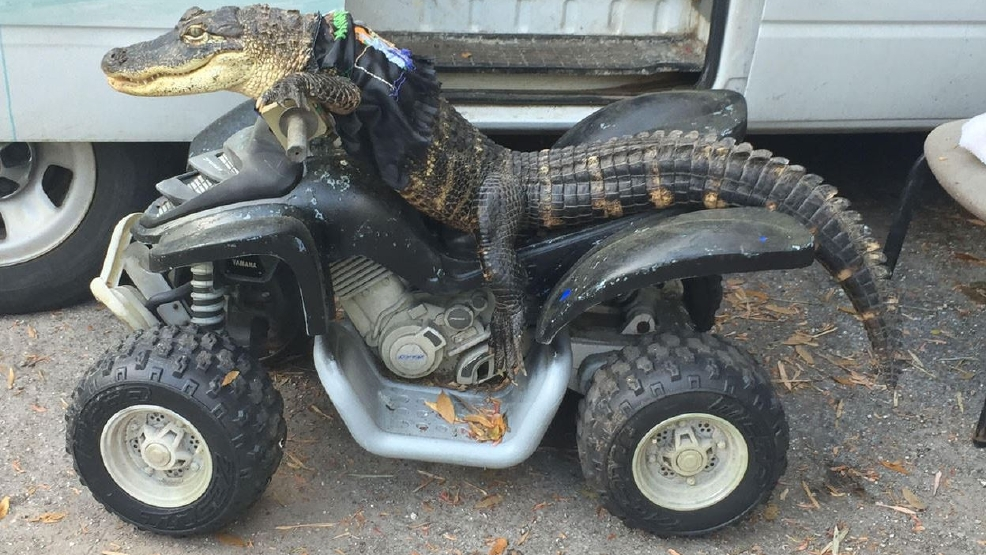 Florida Woman Fights To Keep Pet Alligator Rambo At Home