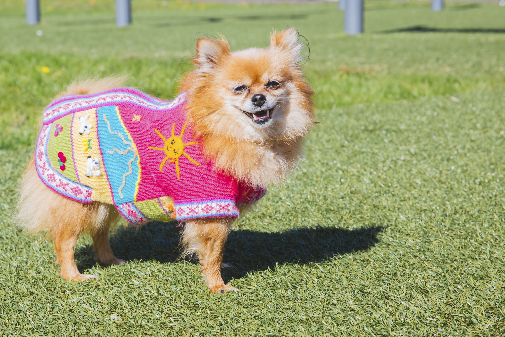 This weeks RUFFined is this beautiful little PomChi! Bella is around eight years old and is a sweet and sassy pom who's got a passion for fashion and a look that just won't quit! She likes being cradled like a baby, jumping in a purse and going for a stroll, and puppuccions. She dislikes being left at home, cats and getting her butt sniffed. You can follow Bella's journey through life on instagram @babybellabean.{ }The Seattle RUFFined Spotlight is a weekly profile of local pets living and loving life in the PNW. If you or someone you know has a pet you'd like featured, email us at hello@seattlerefined.com or tag #SeattleRUFFined and your furbaby could be the next spotlighted! (Image: Sunita Martini / Seattle Refined).