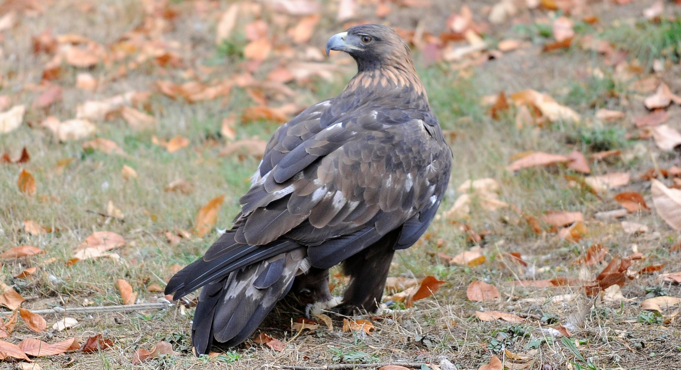 Andy Atkinson / Mail Tribune{ } Duchess the golden eagle at Wildlife Images.