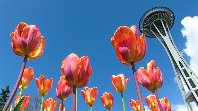 Seattle Tulips (Photo: Jonathan Cooper)