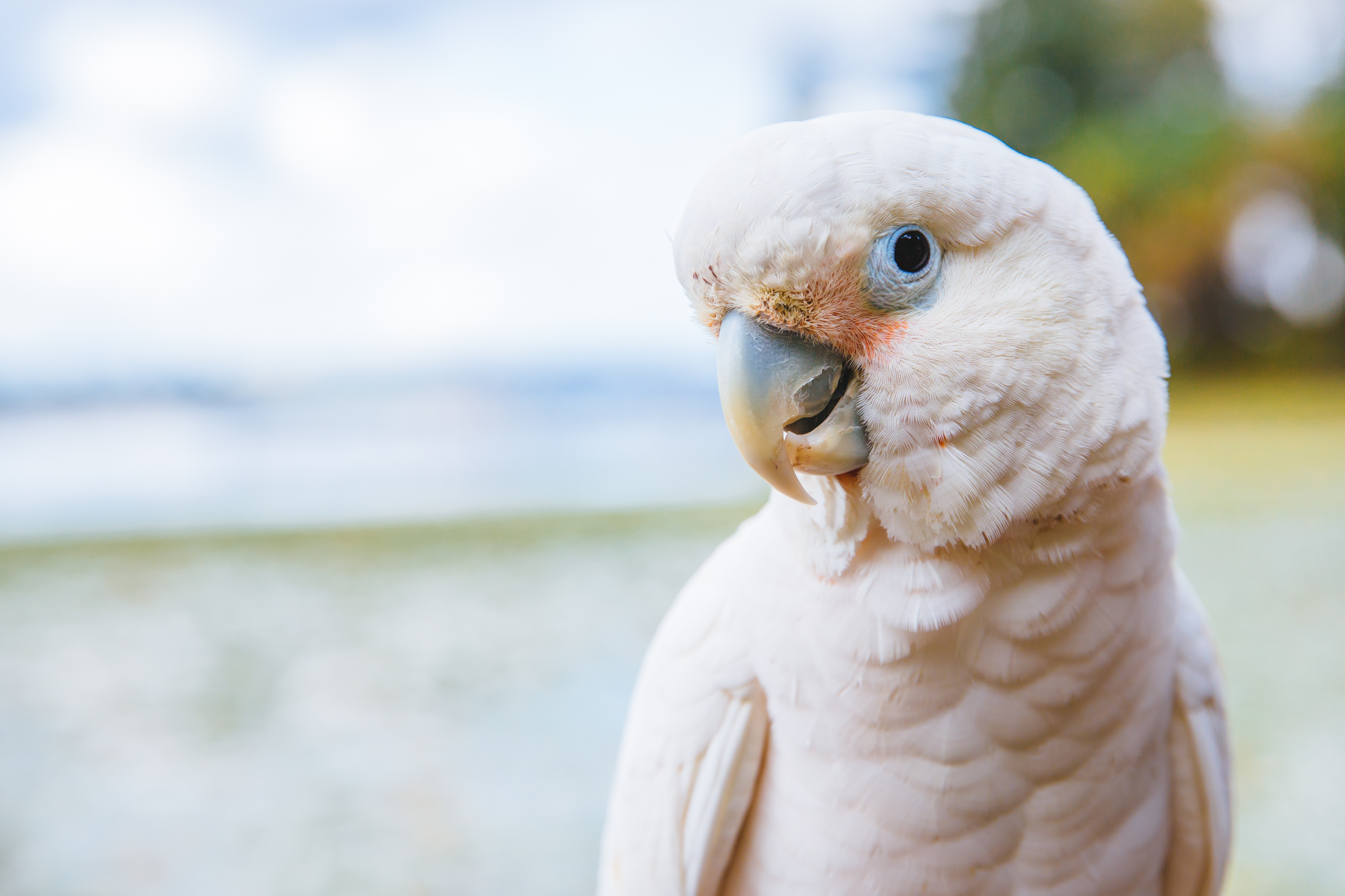 "We've featured cats and dogs but it's time to feature our first ever Cockatoo! TWEET TWEEEEET! Meet Peach McFly the Goffin's Cockatoo. He is 18 years young and is a ""free-flying socialite cockatoo who can be found playing and socializing at local parks."" Now that's my kinda bird. Peach McFly likes peanut butter, car rides, and flirting. He dislikes broccoli, vacuum cleaners, and being caged! The Seattle RUFFined Spotlight is a weekly profile of local pets living and loving life in the PNW. If you or someone you know has a pet you'd like featured, email us at hello@seattlerefined.com or tag #SeattleRUFFined and your furbaby could be the next spotlighted! (Image: Sunita Martini / Seattle Refined)"