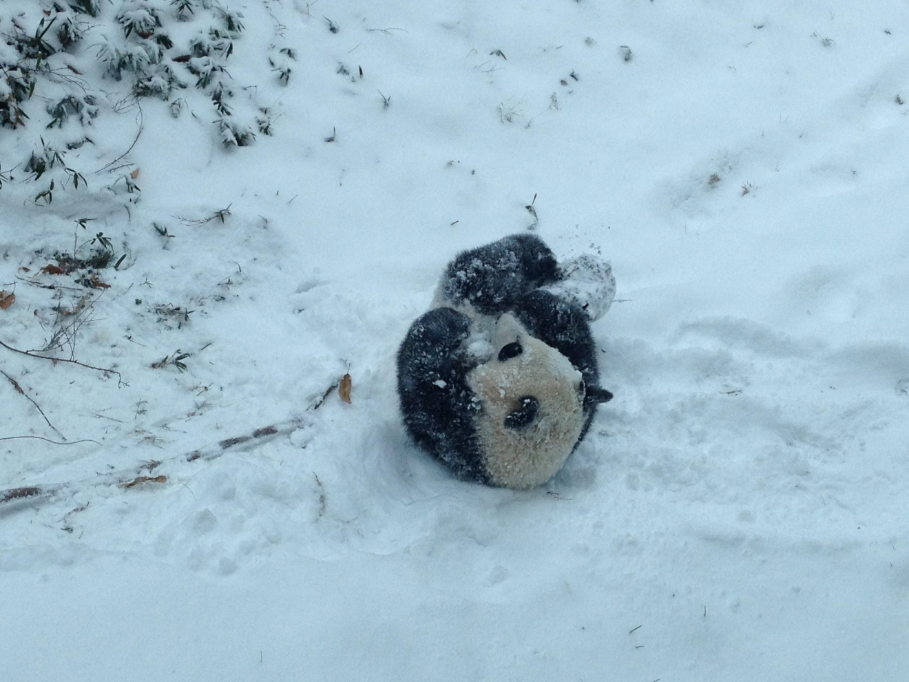 Bao Bao's first snow day -January 6, 2015. (Image courtesy of Devin Murphy, Smithsonian's National Zoo)