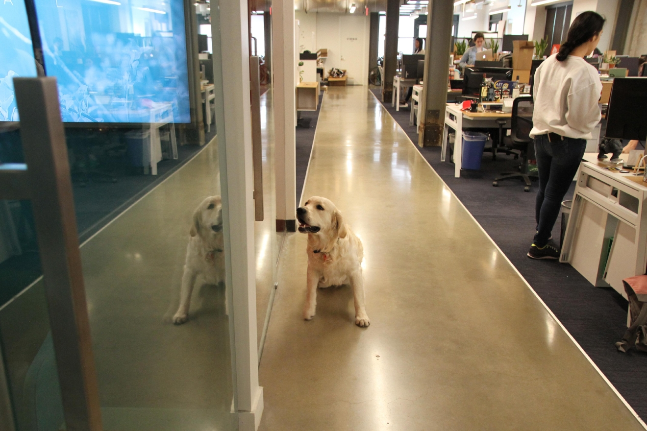 Dogs like Watson wander around the office freely. (Amanda Andrade-Rhoades/DC Refined)