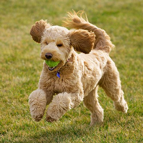 "#10.{&nbsp;} Goldendoodle. This week is #NationalDogWeek and with a little help from Rover.com, ""America's Most Popular Dog Breeds of 2019"" was just released. It's the first annual report which ranks the top 20 most popular dog breeds in the country and reveals which breeds are preferred in 40 major cities across the U.S. To learn more,{&nbsp;}<a  href=""https://www.rover.com/blog/americas-most-popular-dog-breeds/"" target=""_blank"" title=""https://www.rover.com/blog/americas-most-popular-dog-breeds/"">visit Rover's report online</a><a  href=""https://www.rover.com/blog/americas-most-popular-dog-breeds/"" target=""_blank"" title=""https://www.rover.com/blog/americas-most-popular-dog-breeds/"">.</a>{&nbsp;}(Image courtesy of Rover.com)."