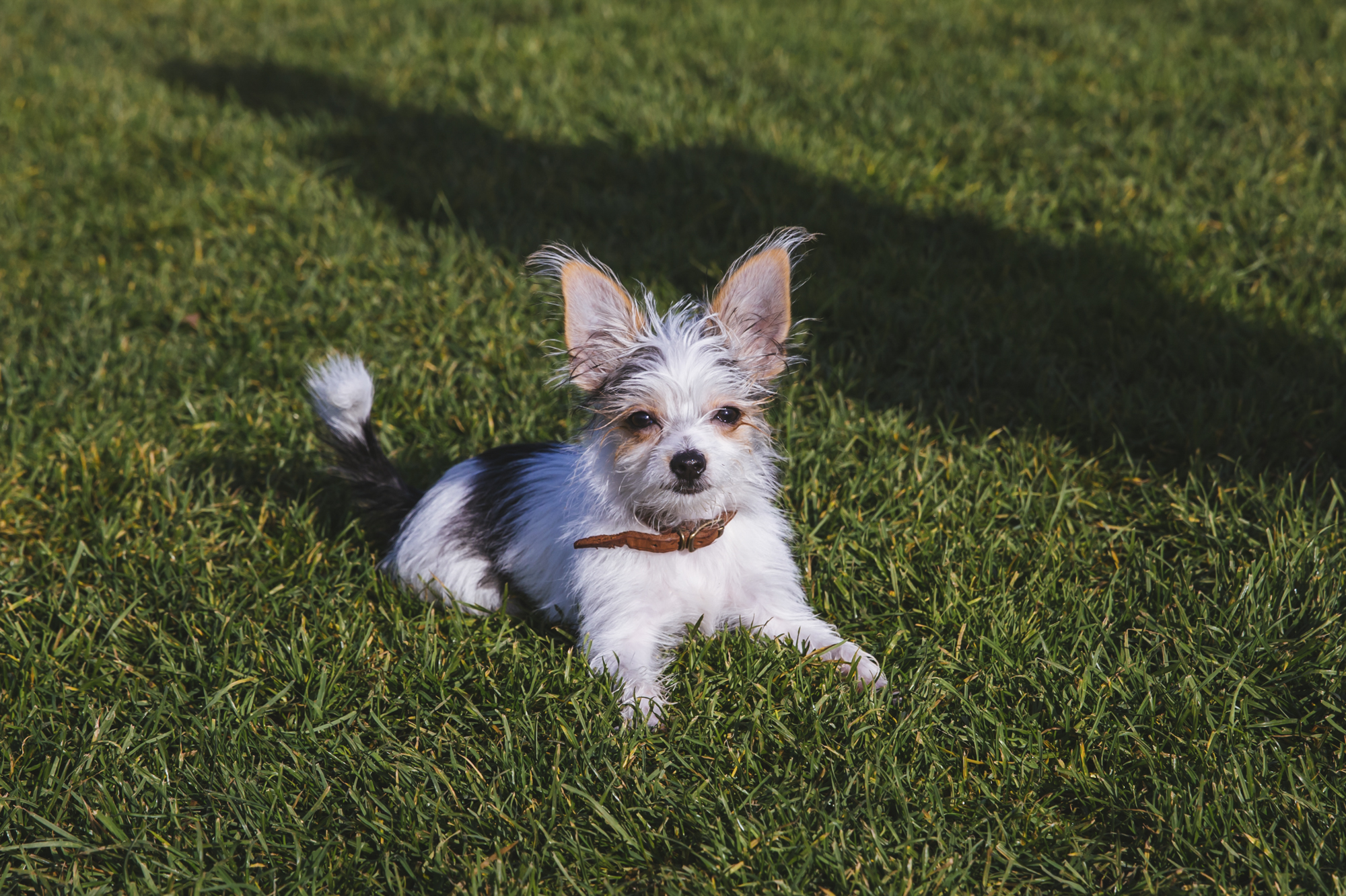 ruffined spotlight klaus the yorkie mix seattle refined