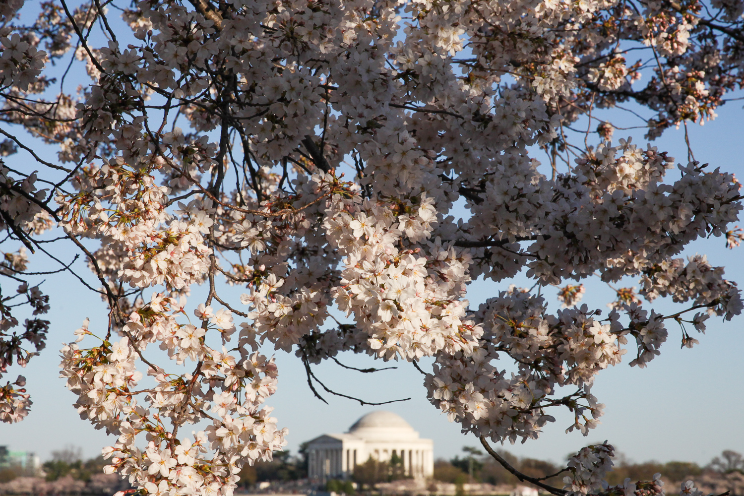 The Tidal Basin is usually ultra-busy but if you can snag a less busy spot, it's well-worth the trek. The blooms are plentiful and you can avoid a lot of the foot traffic if you get there before the sun rises. (Amanda Andrade-Rhoades/DC Refined)