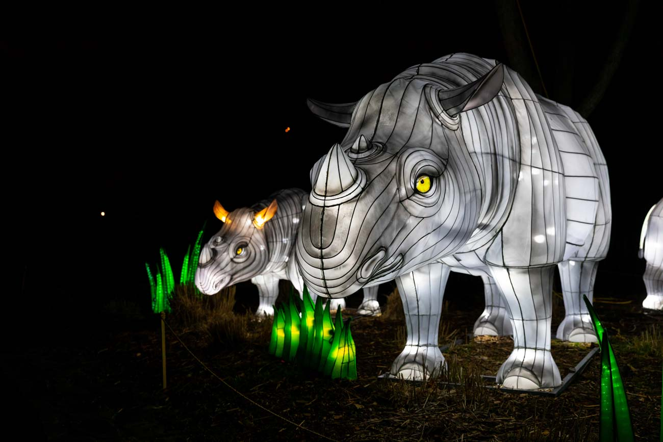 Guests of Wild Lights will also see many lanterns of endangered animals, including this stunning crash of rhinos, and learn about the plight of animals in the vanishing wild. / Image: @bobbiphoto via the Louisville Zoo // Published: 8.10.20