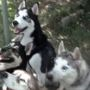'Game of Thrones' likely to blame for abandoned Siberian huskies