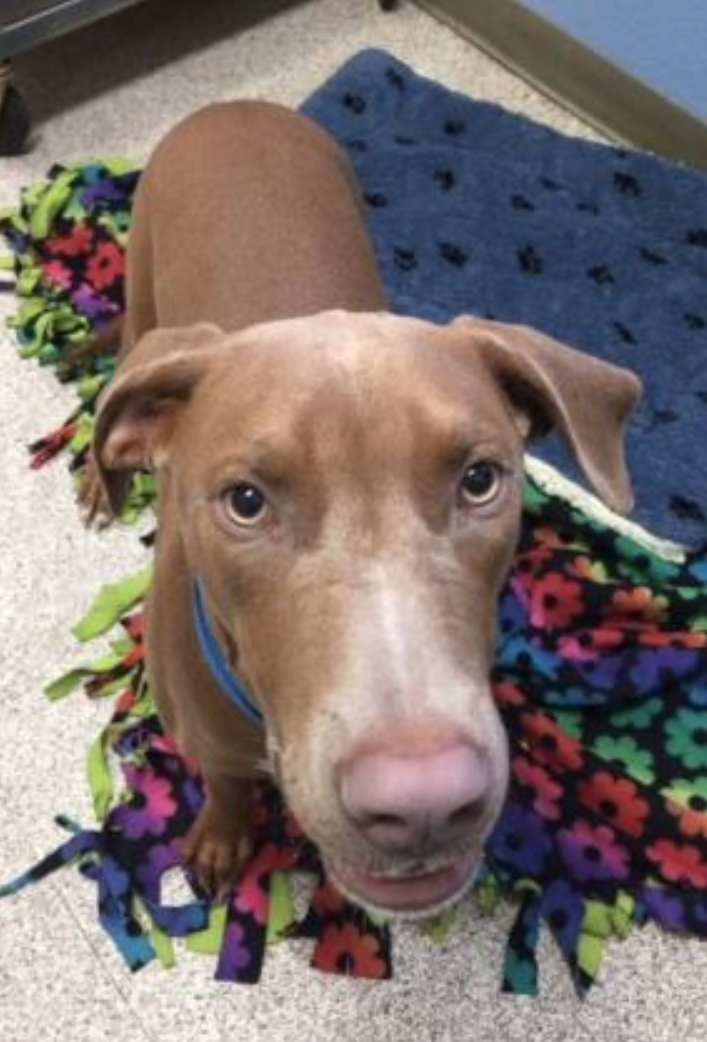 <p>This adorable little Rascal is ready to play! This silly puppy loves everyone he meets, and his fun personality is sure to win you over. More info on the 7-month-old</p>