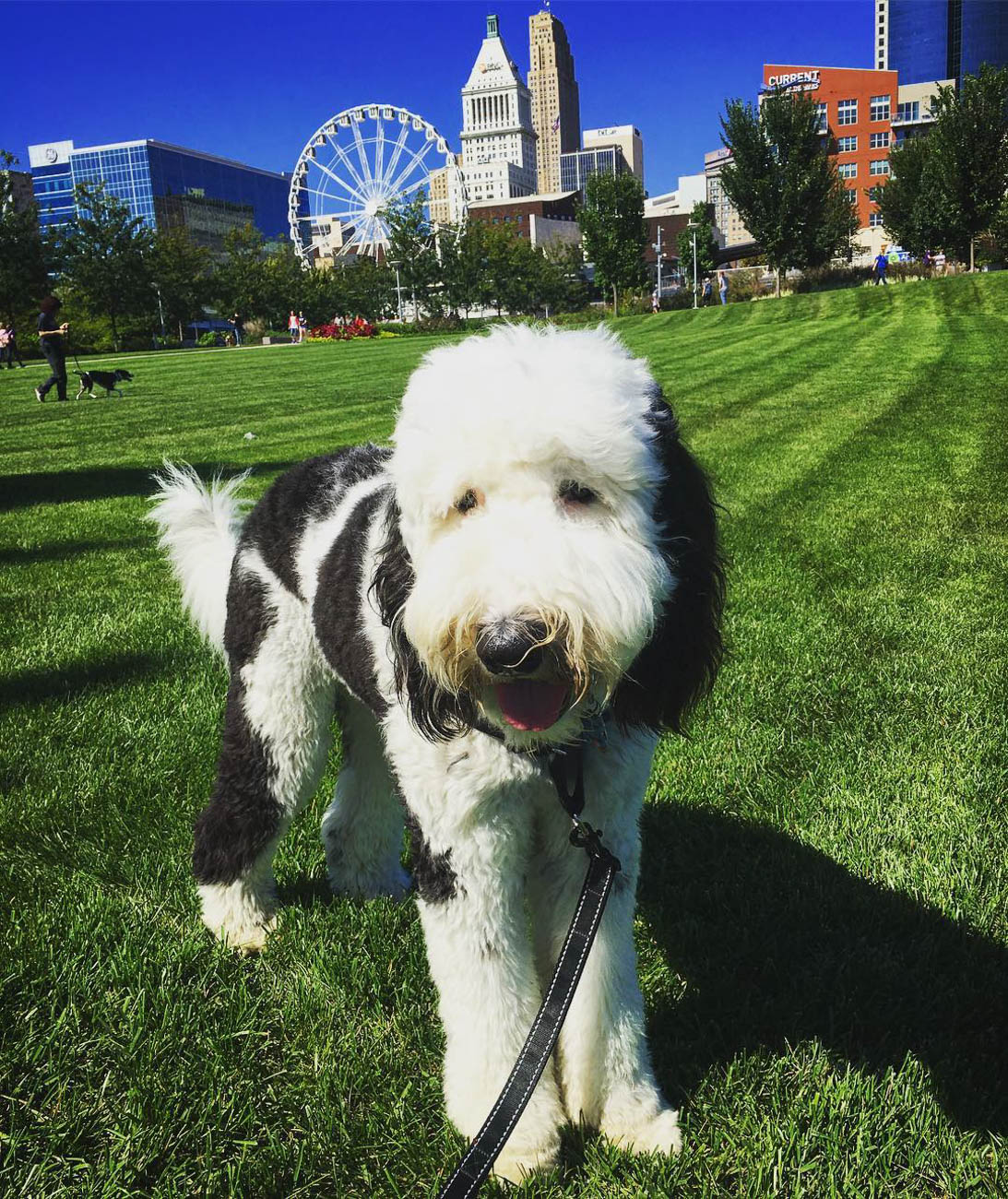 Tom Brady the Sheepdoodle loves to visit Smale Riverfront Park. He's much cuter than the other Tom Brady. / Image courtesy of Instagram user @tombrady_the_sheepadoodle  // Published: 11.28.18