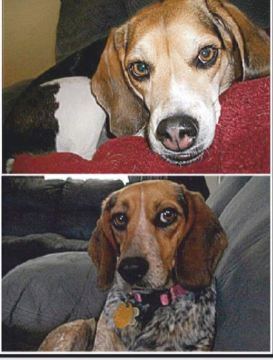 "<p>NAME: cookie</p><p>BREED: BEAGLE</p><p>MISSING SINCE: AUGUST 6, 2017</p><p>WENT MISSING FROM: NEW BLOOMFIELD</p><p>""They know their way home…These girls were perfectly trained pets. They'd go to anyone."" -Annessa Green, Owner</p><p></p>"