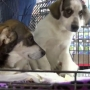 Australian Shepherd-German Shepherd mix pups are ready for adoption