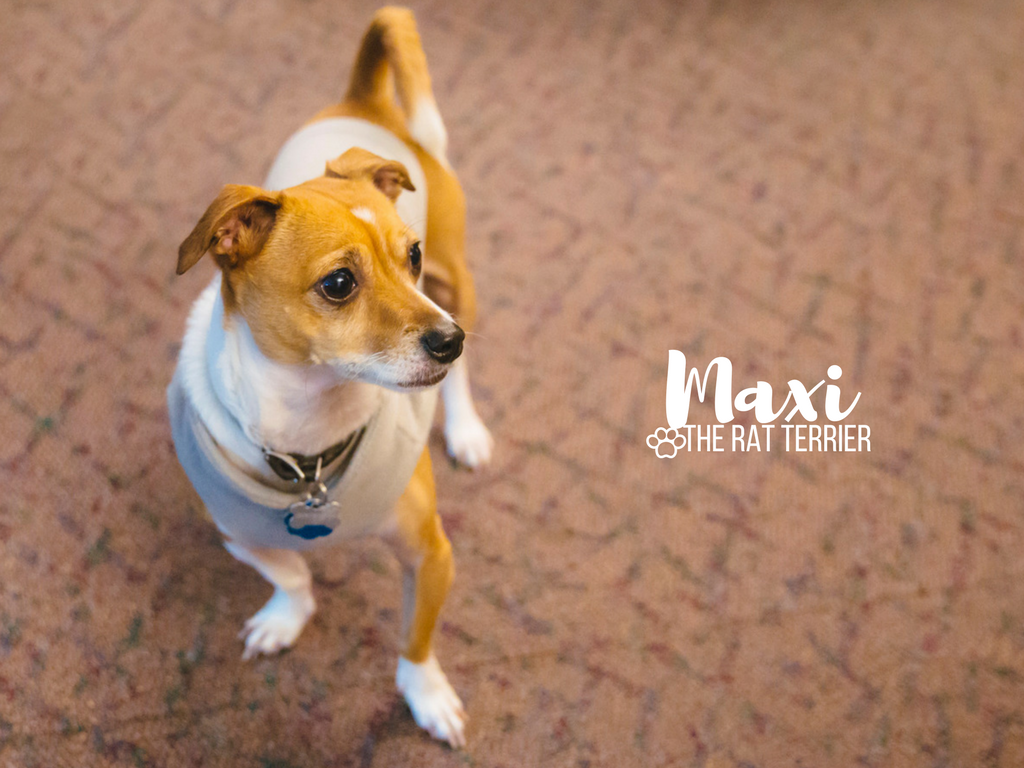 This is the sassiest of the sass, Maxine, but you can call her Maxi! Maxi is a vibrant 5-year-old Rat Terrier who has a personality that is five times bigger than her little body. She likes chardonnay, playing with large toys, burrowing in blankets, watching Netflix, car rides, going on walks and wearing small clothes. She dislikes the dog park, swimming, when Amazon packages are delivered, dancing, being without her fave vest, being home alone, and when anybody snuggles without her. You can catch up with little Maxi on instagram, @sassymaxi. The Seattle RUFFined Spotlight is a weekly profile of local pets living and loving life in the PNW. If you or someone you know has a pet you'd like featured, email us at hello@seattlerefined.com or tag #SeattleRUFFined and your furbaby could be the next spotlighted! (Image: Sunita Martini / Seattle Refined).