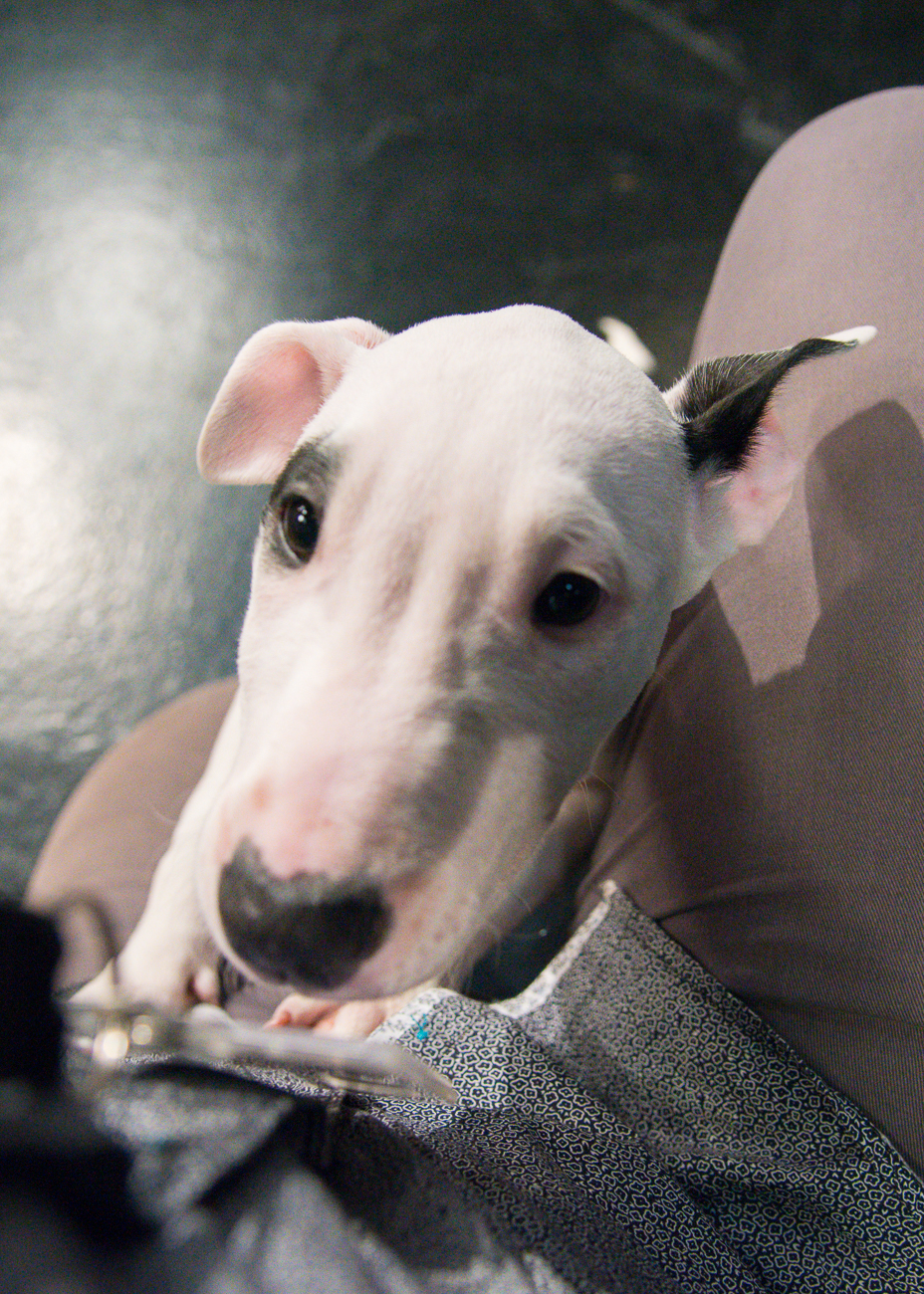PICTURED: Joy, a 3-month-old bull terrier puppy / ABOUT: The Society for the Prevention of Cruelty to Animals (SPCA) is an organization that seeks out new, loving owners for adoptable, adorable dogs and cats. While the pets in these photos are likely already adopted by the time this is published, you can find other dogs and cats like them by visiting SPCAcincinnati.org. The organization receives new animals often; Local 12 WKRC-TV features several of those pets every Tuesday on their morning and evening broadcasts and every Saturday during the morning broadcast. / Image: Phil Armstrong, Cincinnati Refined // Published: 10.24.18