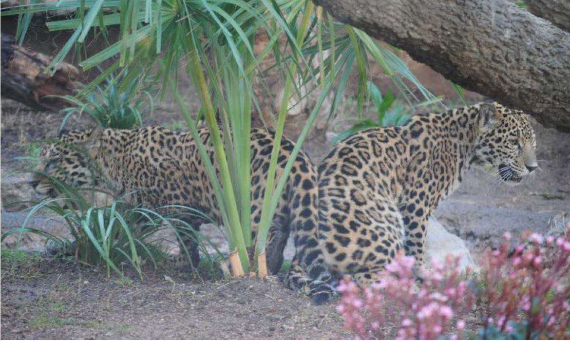 Luna and Estrella, the two jaguars at the Abilene Zoo, joined the zoo in March 2016.