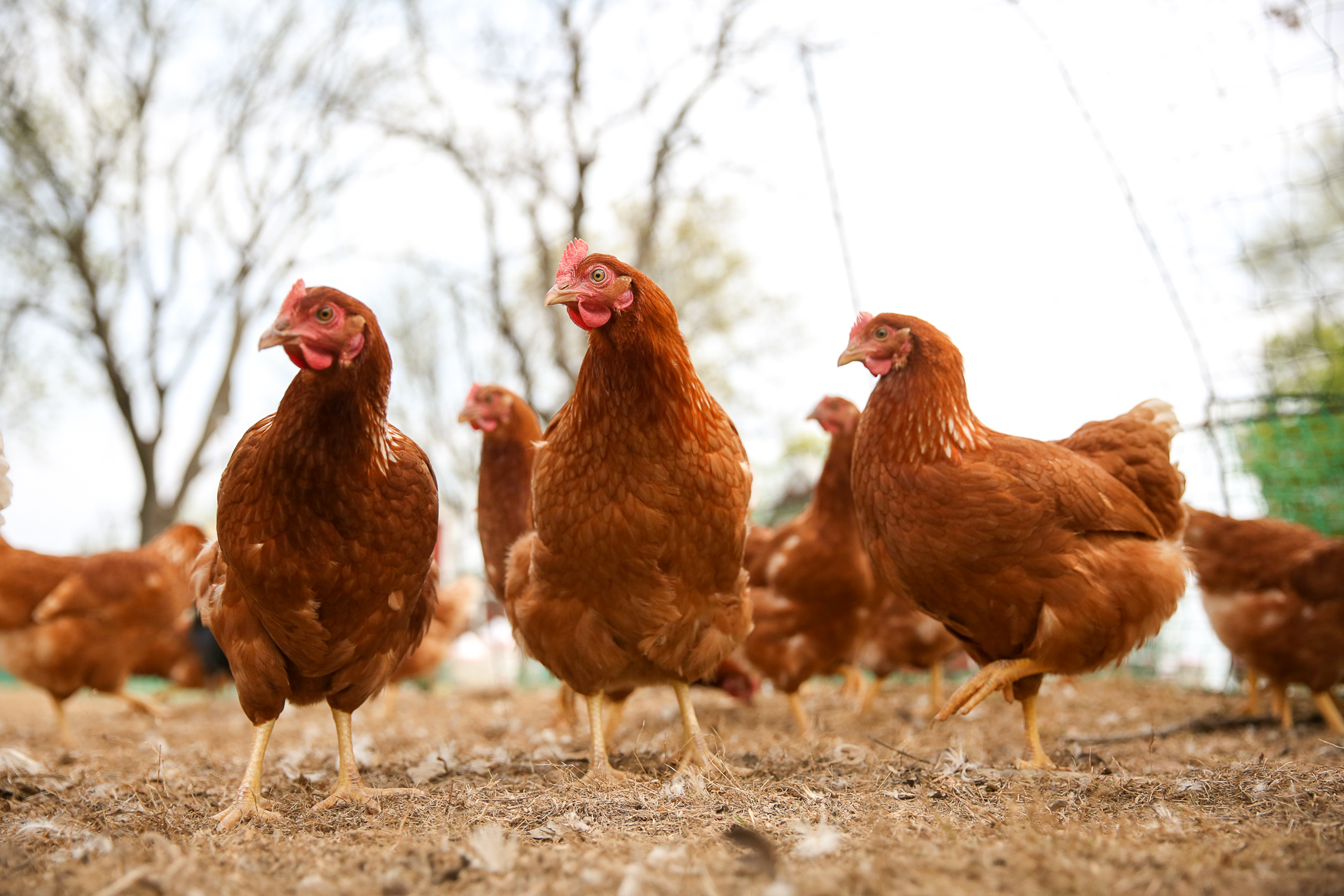 Customers usually received Golden Comets or Red Sex Link breed hens.{ } (Image: Amanda Andrade-Rhoades/ DC Refined)