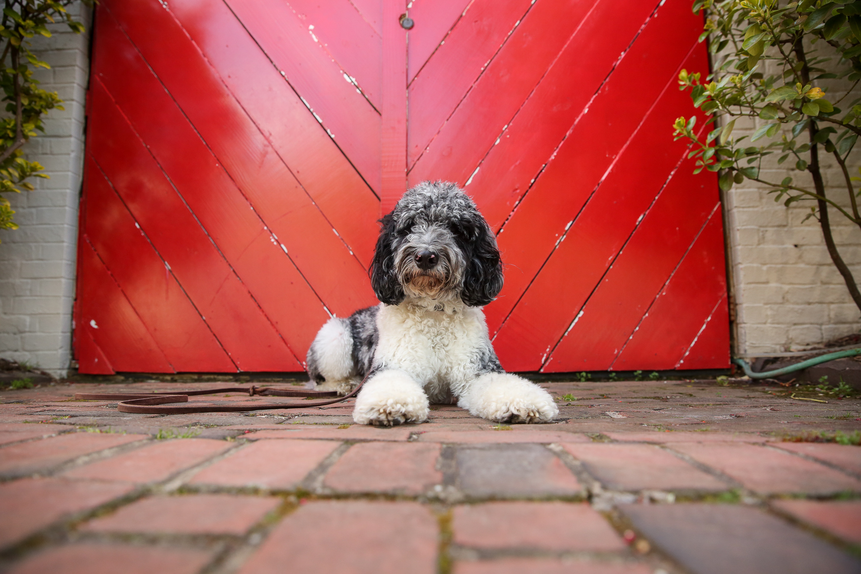 "Meet Scrummer, a 15-month-old Cockapoo. He came home to be with his family at just 8 weeks old, and came from Indiana.{ }He LOVES his rugby ball (his all time favorite toy) and hiking, so the fam tries to get out to the mountains twice a month. Scrummer enjoys the freedom of the trail and carries his backpack with his water, kibble, treats and first aid kit. When he sees his pack come out he gets so excited because he knows that means an adventure is coming. On the flip side, he HATES the car. He gets super anxious and drools everywhere. One of his family's favorite memories with Scrummer was on a recent hike when his momma was having a particularly stressful week. ""When we reached the summit of our hike I sat down to take it all in,"" said Scrummer's mom. ""Scrummer came and sat right next to me, leaned up against me, and just stayed like that for 15 minutes. It was something simple, but so sweet."" If you're interested in having your pup featured, drop us a line at aandrade@dcrefined.com, but we do have quite the waiting list right now so we appreciate your patience! (Image: Amanda Andrade-Rhoades/DC Refined)"