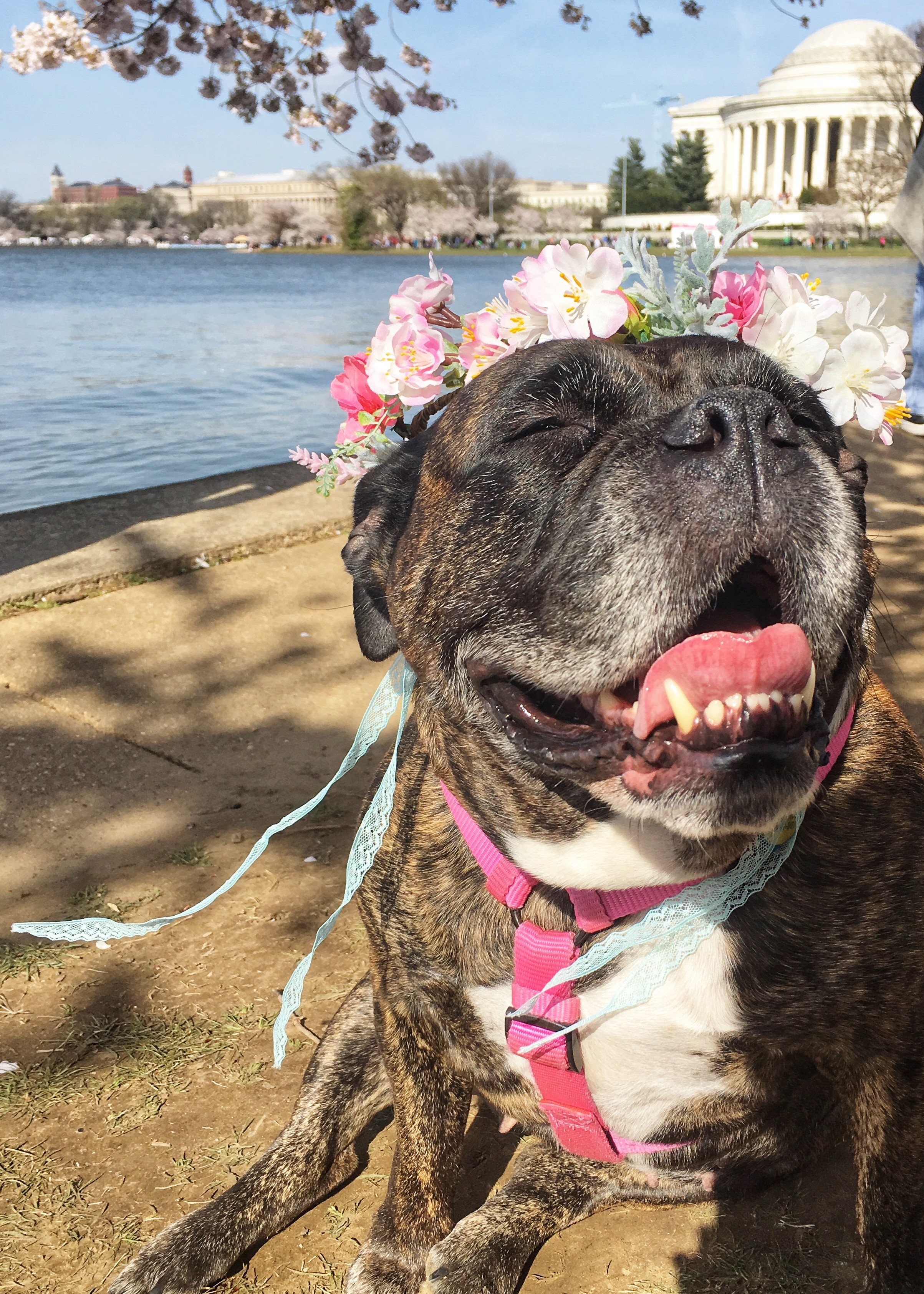 In honor of National Pet Day (which is basically like Christmas around here!) we checked in on a few of our favorite Instagram stars to see what they've been up to lately, and we noticed many of them had paid a visit to D.C.'s beloved blossoms. So for this week's special RUFFined Spotlight, we give you some adorable four-legged admirers of the cherry blossoms! (Image: via IG user @rubycubethebulldog /{ }instagram.com/rubycubethebulldog/){ }