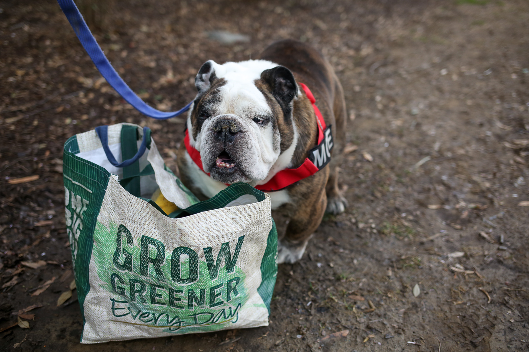 "Meet Moe, a 10-year-old English Bulldog, who was his pawrents' first dog! Moe was adopted in May 2014 from Lost Dog and Cat Rescue Foundation. He loves food (burgers and cheese are his favorites!), napping, the sunshine and ""helping"" mom ""unload"" groceries and Target hauls. Moe is such a diva that he has his own acupuncturist, Dr. Duffy, and he loves getting massages. While Moe enjoys cold weather, he is not a fan at all of snow, getting up early, rain, umbrellas, hats/crazy headbands and anything mint flavored. He also enjoys ""singing"" along to the music played by his mom's piano students, and at Christmas time, he will lay under the tree all season long. If you're interested in having your pup featured, drop us a line at aandrade@dcrefined.com (Image: Amanda Andrade-Rhoades/DC Refined)"