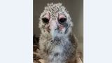 Photos: New Milky eagle-owl baby warms hearts at World Center for Birds of Prey