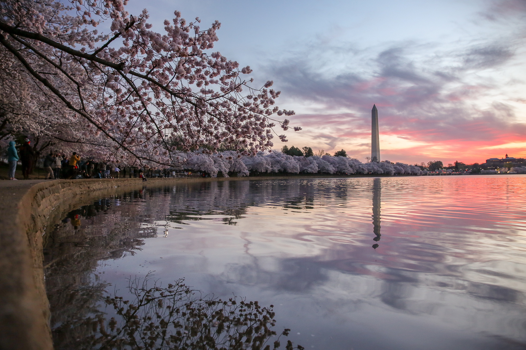 Peak bloom is here, meaning that the majority of the trees around the Tidal Basin are covered in pink or white cherry blossoms. According to the National Parks Service, the blooms are expected to last between seven and ten days. The best time of day to see the stunning blooms is around sunrise, which is currently near 7 a.m. It's an early wake up, but the crowds are fairly thin and you'll be rewarded with a gorgeous way to start your day. (Amanda Andrade-Rhoades/DC Refined)