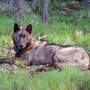 Judge says Washington state must provide 1 day notice to kill wolves