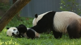 29 adorable panda pics in honor of National Panda Day