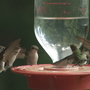 Watch: Hummingbirds gather for supper