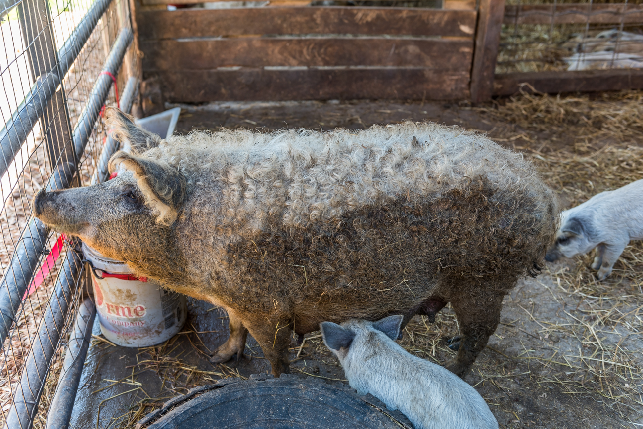 These wooly pigs are known as Mangalitsa pigs. The breed originally comes from Hungary and is currently the only type of pig to flaunt sheep-like coats. The farm is also home to horses and sheep. / Image: Mike Menke // Published: 6.13.19
