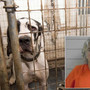 Woman found guilty of 10 animal cruelty counts after 84 Great Danes were seized