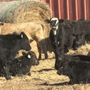 Mallard Fire impacting ranchers and cattle