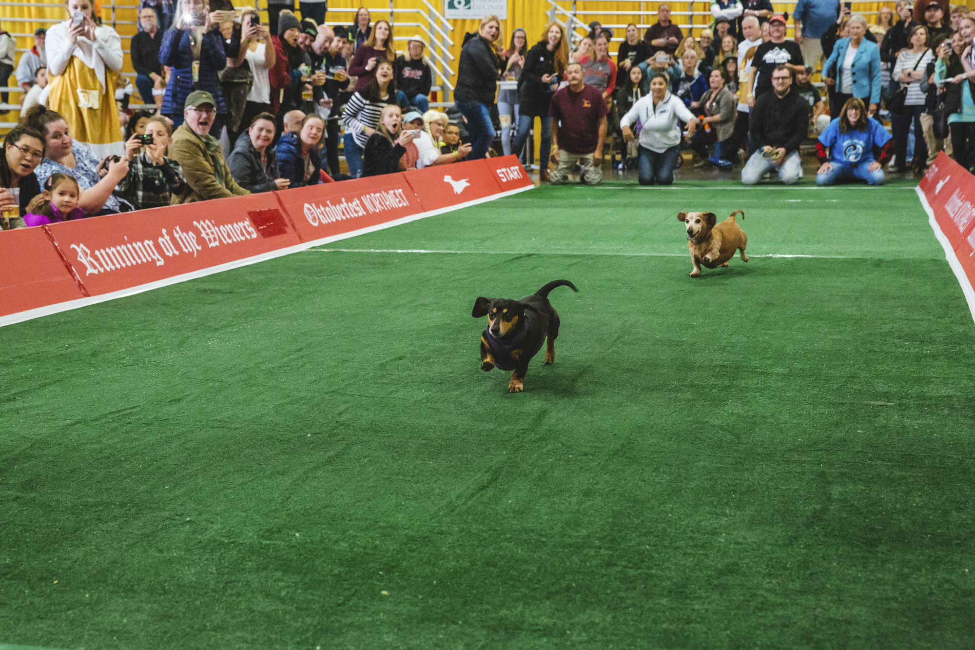 Who needs lederhosen and bier when you have Wiener dogs? Actually, we'd like all three please. These short stubby little guys totally stole the show at this weekend's Oktoberfest Northwest, where a crowds enjoyed a bevy of entertainment, food and music at the Washington State Fair Playgrounds. (Image: Sunita Martini / Seattle Refined)