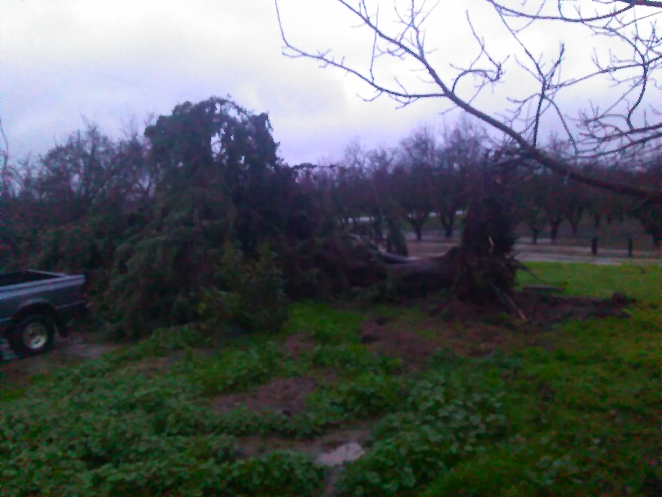 Tree fell Friday morning in Merced County from wind and rain by Kathy Winans 1-20-17