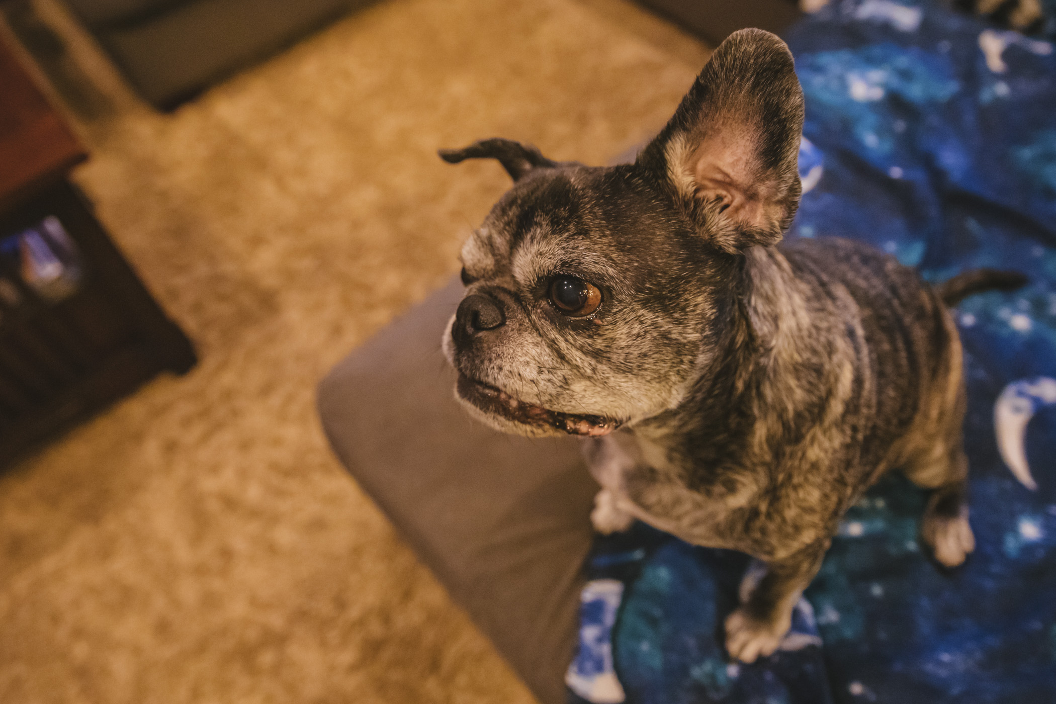 Welcome to the first #RUFFinedSpotlight of 2020! This is Captain Rhett Butler, a Pug and French Bulldog Mix. He is 12 years old and is a happy-go-lucky rescue from Georgia. He found his forever home where he enjoys long walks in nature, belly rubs and road trips with his family. He likes all foods, people, and animals! He dislikes not being pet constantly by his humans.{ }The Seattle RUFFined Spotlight is a weekly profile of local pets living and loving life in the PNW. If you or someone you know has a pet you'd like featured, email us at hello@seattlerefined.com or tag #SeattleRUFFined and your furbaby could be the next spotlighted! (Image: Sunita Martini / Seattle Refined).
