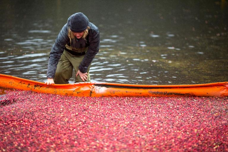 Volunteer and Portland resident Alisa Rudnick saves cranberries that were missed by the floating boom during the annual cranberry harvest at Starvation Alley Farms in Long Beach. (Sy Bean / Seattle Refined)
