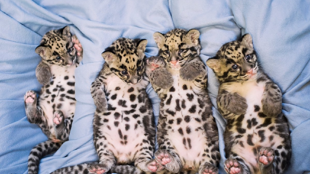 baby goats clouded leopard cubs otters more seattle s