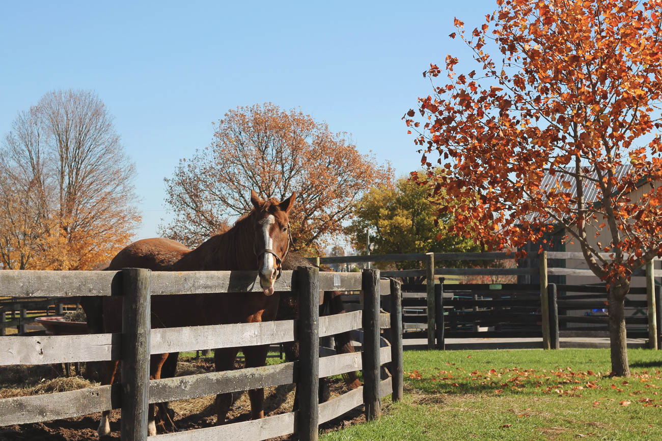 Old Friends Farm is a park where thoroughbreds from all over the world go to retire after their racing career. Visitors can get up-close to the horses and feed them carrots while touring the grounds. / Image courtesy of Georgetown/Scott County Tourism // Published: 11.1.18
