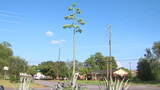 Century plant blooms, towers over Warner Robins yard in rare event