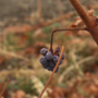 Local wineries struggle to source grapes after harsh winter