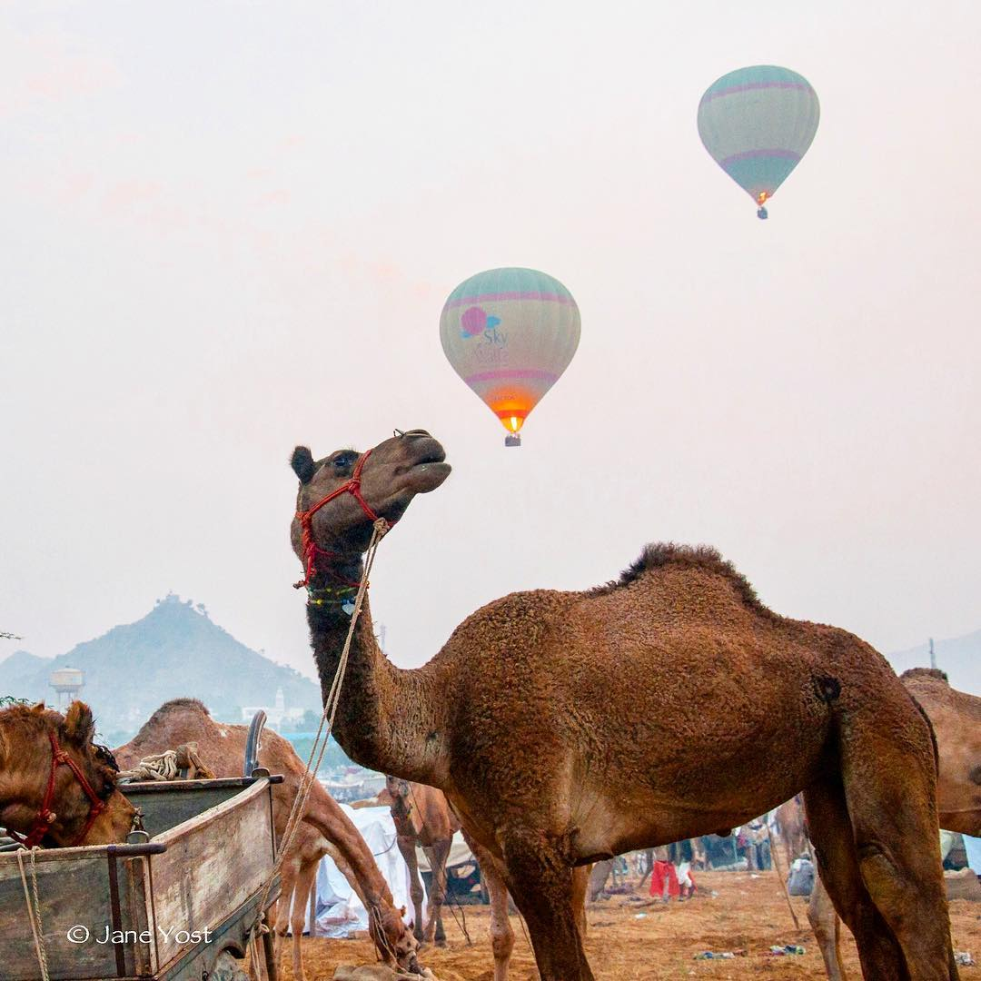 IMAGE: IG user @emjaynie4 / POST: More #camellove as the dawn hot air balloons launch over the first day of the annual Pushkar Camel fair in India. // PUBLISHED: 12.2.16