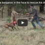 WATCH: Man punches kangaroo in attempt to save his dog
