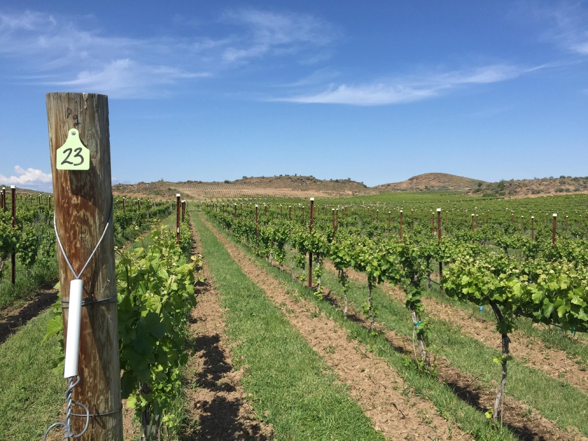 Wilridge Vineyard's Pinot Gris block in the Yakima Valley AVA. (Image: Frank Guanco)