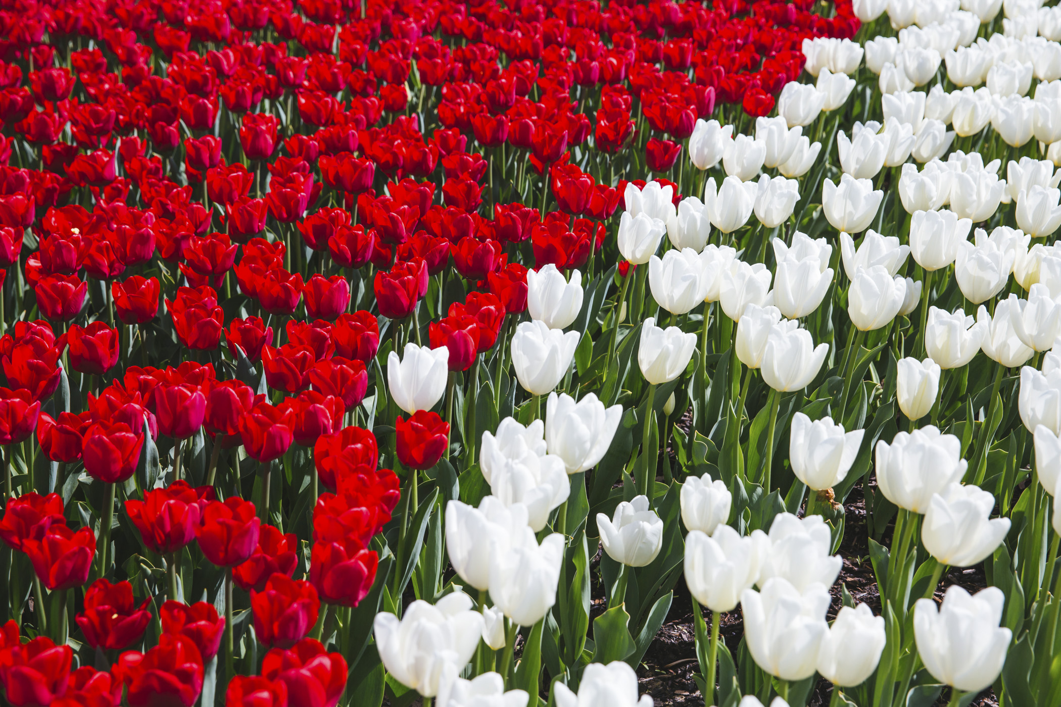 It's tulip season! Each year thousands of people come to visit the million+ tulips at the Skagit Valley Tulip Festival, which runs the entire month of April. (Image: Sunita Martini / Seattle Refined).