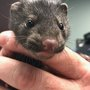 Oregon State Police sergeant rescues two mink cubs