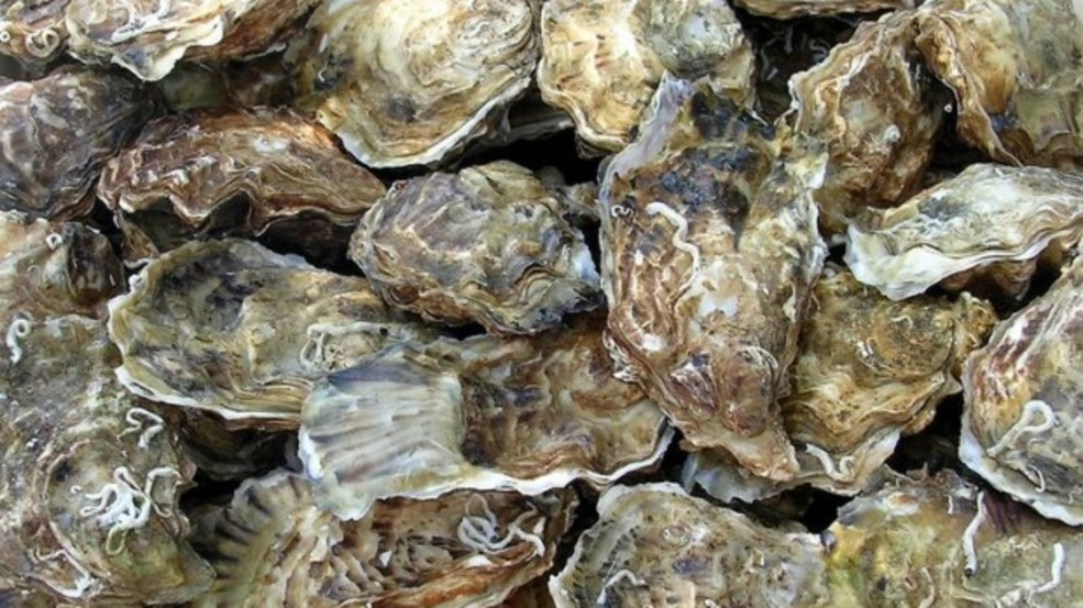 how to find oyster beds