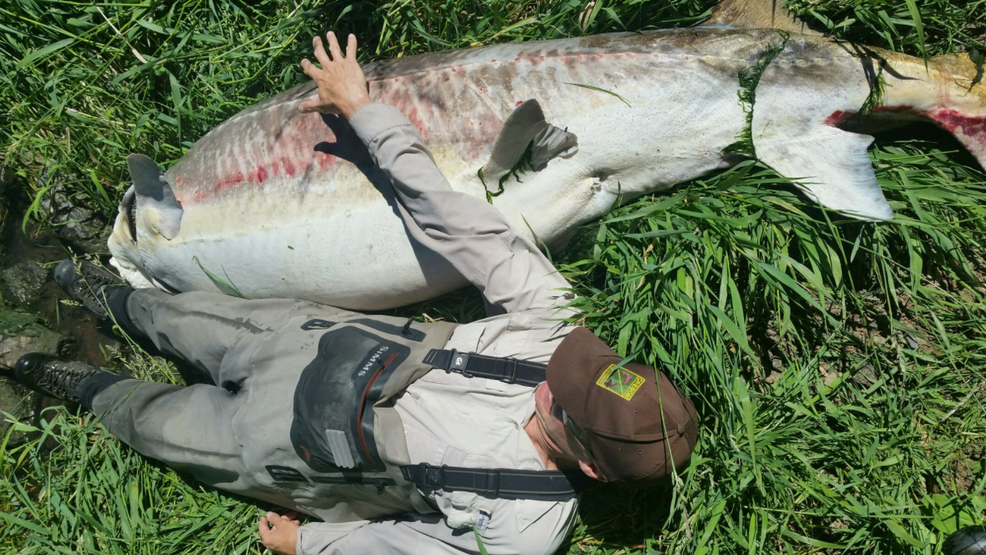 500 pound sturgeon found dead at oregon lake is likely 60 for Oregon department of fish and wildlife jobs